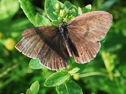Luktgräsfjäril (Aphantopus hyperantus) med sltna vingar