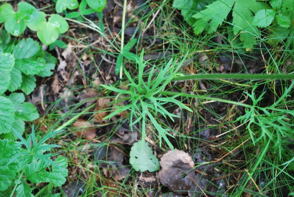 Backsmörblomma. De basala bladen är stora, vanligen femdelade och upprepat smalflikiga, de är långskaftade och utspärrat styvhåriga liksom nedre delen av stjälken.