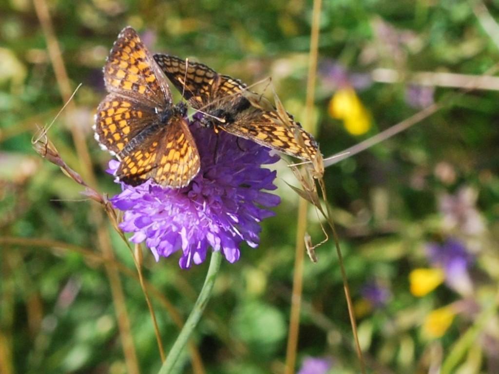 Skogsnätfjärilar ((Mellicta athalia)