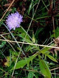 Ängsvädd (Succisa pratensis) Beskrivning. Ängsvädd är en flerårig, oftast kal ört som kan bli upp till sex decimeter hög. Stjälken är upprätt och har motsatta, vanligen helbräddade, avlånga blad med smal bas. Ängsvädd blommar under sensommaren och hösten, i augusti-september. Blommorna är vanligen blåvioletta och sitter i halvklotformiga korglika samlingar där alla blommor är lika stora. Kronan är fyrflikad. Frukten äre nöt som sitter innesluten i ytterfodret. Roten ser avskuren eller avbiten ut vilket givit upphov till släktnamnet, Succisa, som betyder avskuren