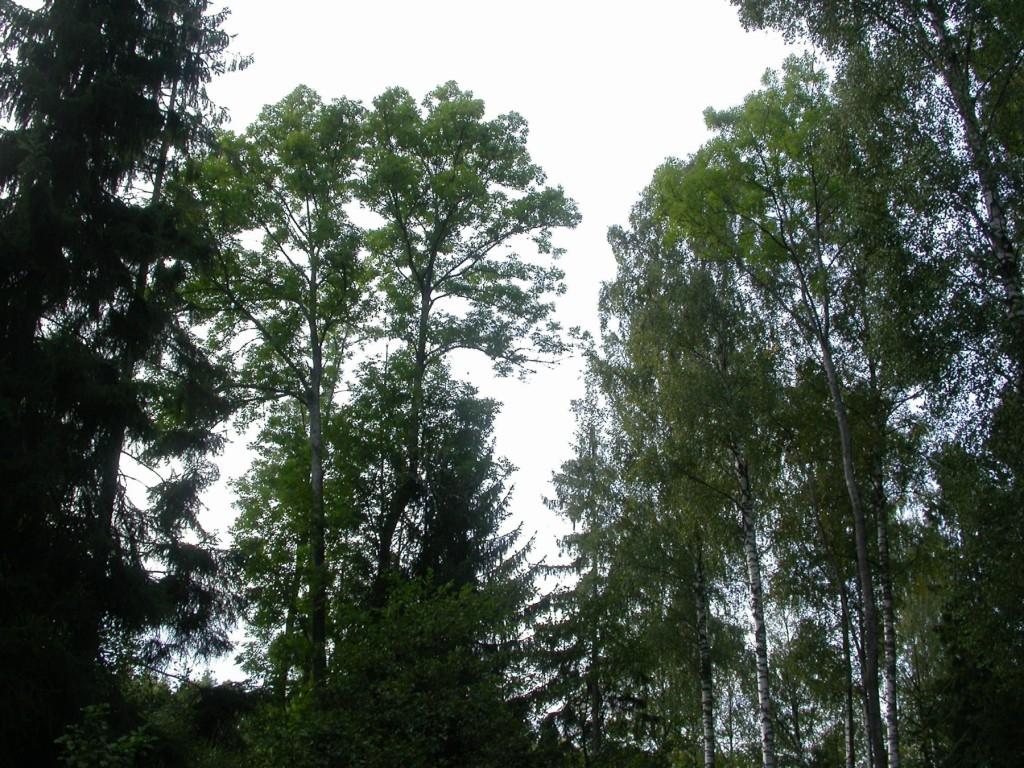 Ask (Fraxinus excelsior) Beskrivning. Ask är ett högväxt träd med stora sammansatta blad. Stammen är slät och grågrön, men blir med tiden uppsprucken och grå. Den lövas sist av alla våra träd, ofta så sent som i början av juni, och avlövas först av alla, ibland redan i september. Bladen är motsatta, upp till 25 centimeter långa med fyra till sju bladpar och ett uddblad. Asken är vindpollinerad och blommar före lövsprickningen, men först när trädet blivit omkring 30 år.