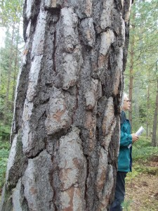 Om tallar är unga eller gamla kan man lätt se på barken. Gamla tallar har nämligen bark som liknar krokodilskinn och därför brukar kallas krokodilbark eller pansarbark. Gamla tallar har också krökt topp.