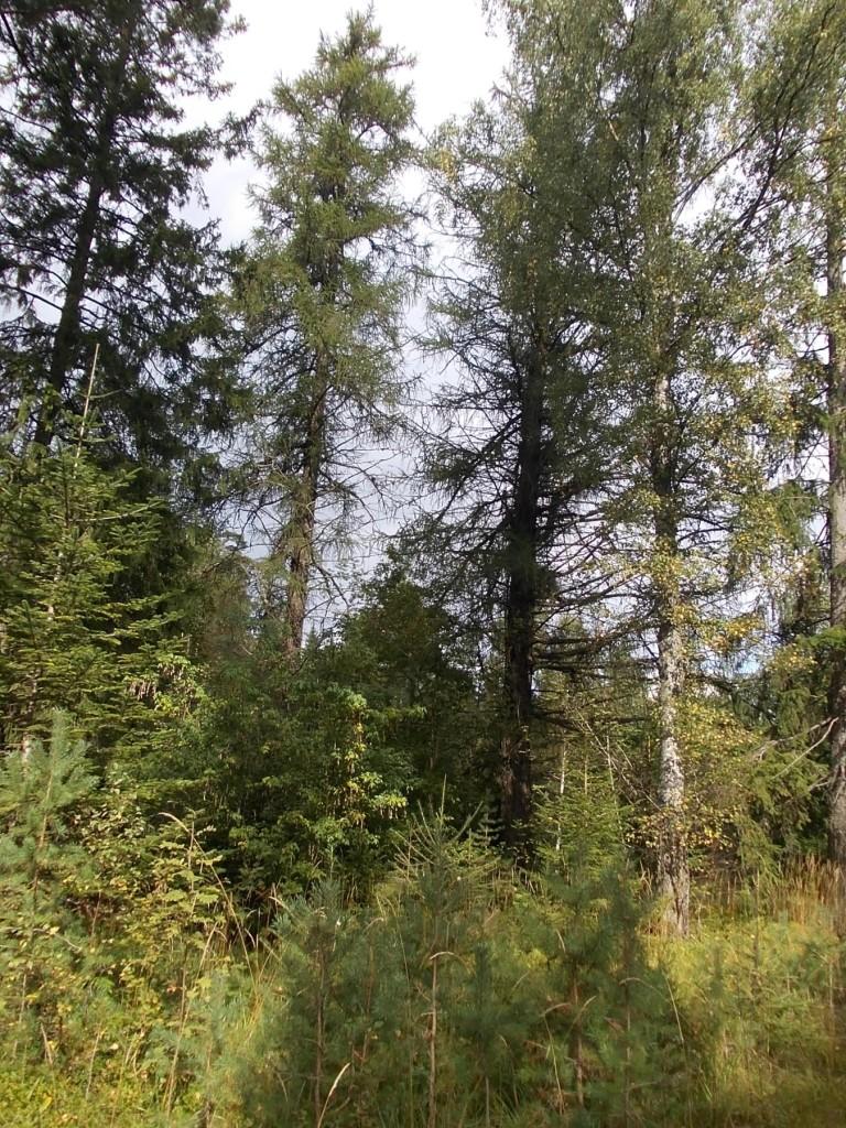 Europeisk lärk (Larix decidua) Beskrivning. Lärk är ett stort, snabbväxande barrträd som kan bli upp till 30 meter högt. Kronan är ganska gles, från början är den kägelformig men den blir med tiden platt med utbredda grenar, de nedersta ofta hängande. Tvååriga kvistar är matt grågula.