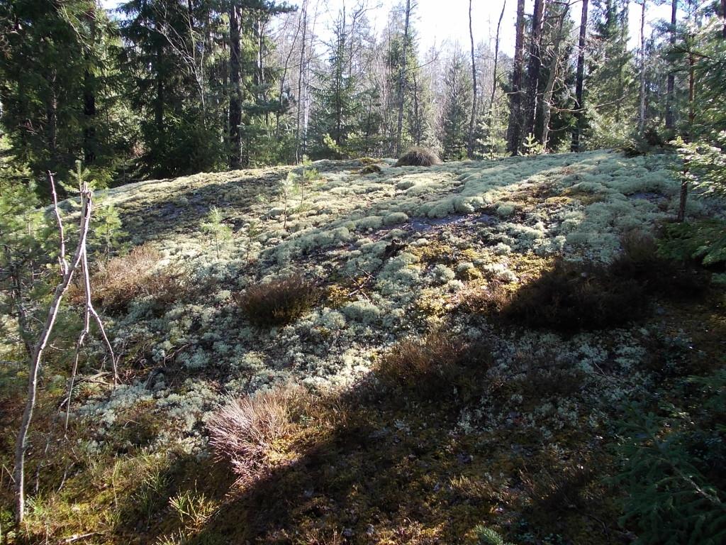 Bergknalle i Stäkets verksamhetsområde som försvinner vid exploatering