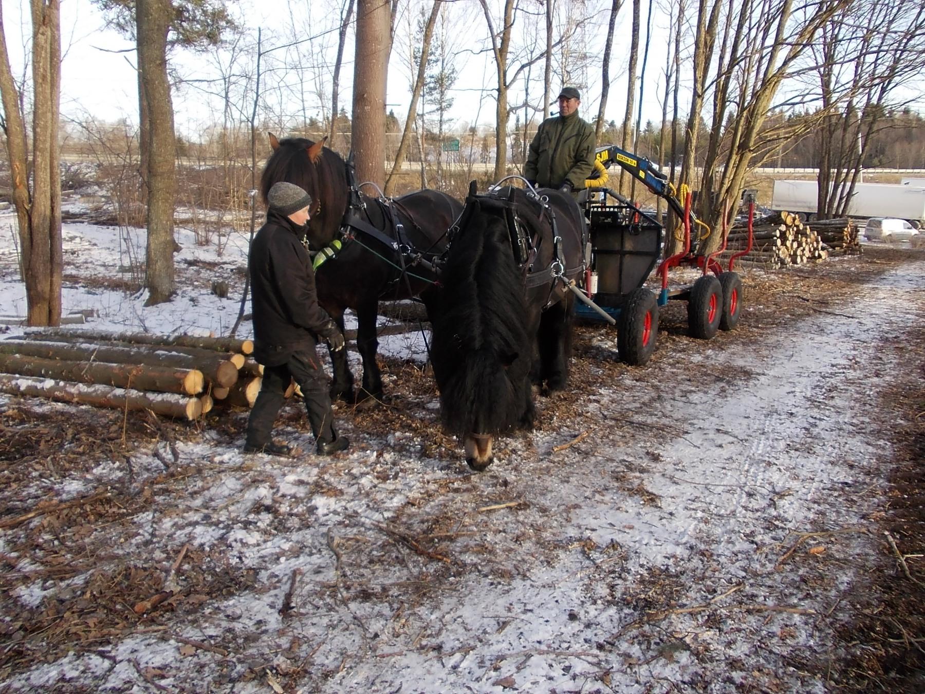 Nordsvenska hästarna Svensken och Certino