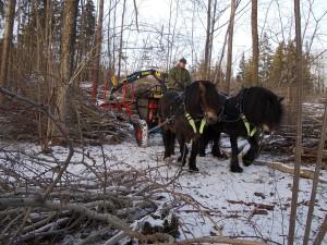 Nordsvenska hästar transporterar ris och virke från skogen