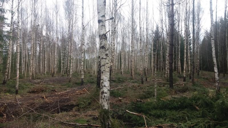 30-årigt björkbestånd efter att gran har tagits bort