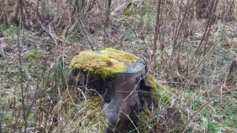 Även en mossbevuxen stubbe ingår i hyggesfritt skogsbruk