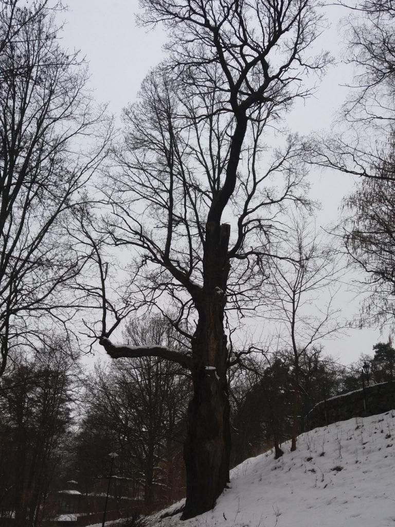 Bild av en gammal ek vid vid Stockholms Roddföreningens klubbhus.